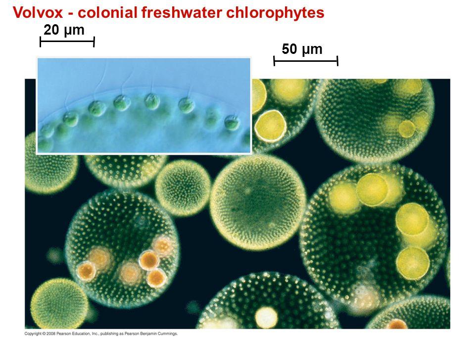 Volvox - colonial freshwater chlorophytes 20 µm 50 µm