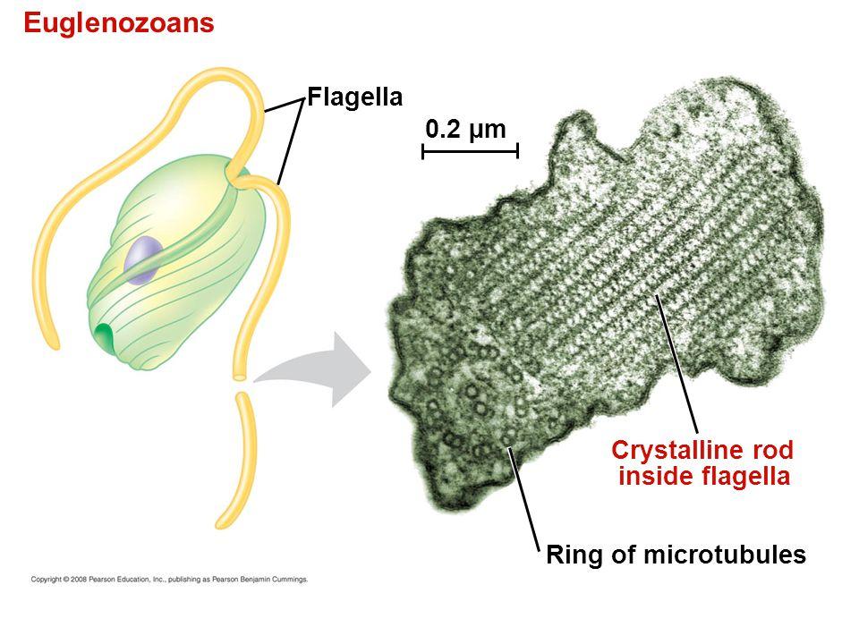 Euglenozoans Flagella Crystalline rod inside flagella Ring of microtubules 0.2 µm