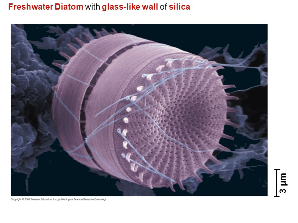 Freshwater Diatom with glass-like wall of silica 3 µm