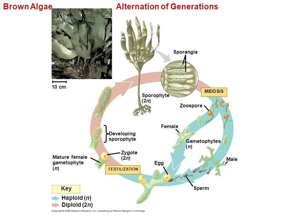 Brown Algae Alternation of Generations 10 cm Haploid (n) Diploid (2n) Key Sporangia Sporophyte (2n) Zoospore MEIOSIS Female Gametophytes (n) Egg Male
