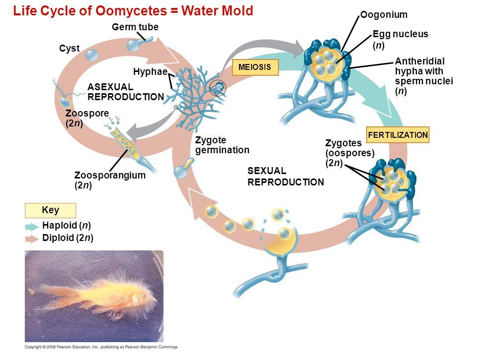 Life Cycle of Oomycetes = Water Mold Germ tube Cyst Hyphae ASEXUAL REPRODUCTION Zoospore (2n) Zoosporangium (2n) Haploid (n) Diploid (2n) Key Oogonium