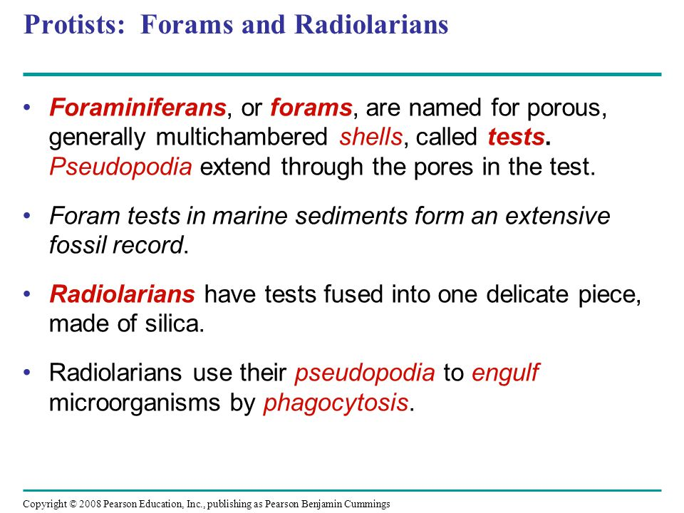 Copyright © 2008 Pearson Education, Inc., publishing as Pearson Benjamin Cummings Protists: Forams and Radiolarians Foraminiferans, or forams, are nam