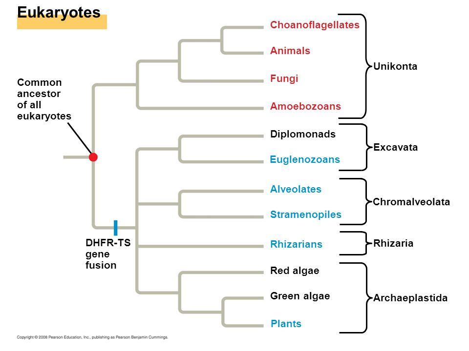 Eukaryotes Common ancestor of all eukaryotes DHFR-TS gene fusion Unikonta Excavata Chromalveolata Rhizaria Archaeplastida Choanoflagellates Animals Fu