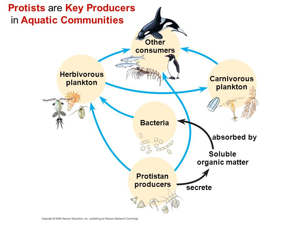 Protists are Key Producers in Aquatic Communities Other consumers Herbivorous plankton Carnivorous plankton Bacteria absorbed by Soluble organic matte
