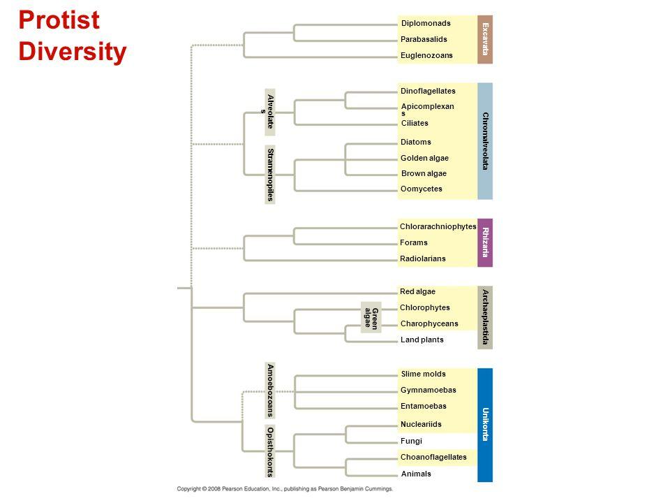 Protist Diversity - Diplomonads intestinal parasites 5 µm
