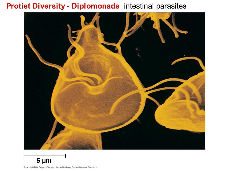 Brown Algae Alternation of Generations 10 cm Haploid (n) Diploid (2n) Key Sporangia Sporophyte (2n) Zoospore MEIOSIS Female Gametophytes (n) Egg Male Sperm FERTILIZATION Zygote (2n) Developing sporophyte Mature female gametophyte (n)