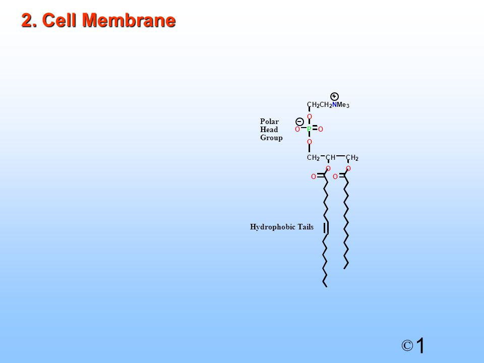 1 © The cell membrane is made up of a phospholipid bilayerThe cell membrane is made up of a phospholipid bilayer The hydrophobic tails interact with each other by van der Waals interactions and are hidden from the aqueous mediaThe hydrophobic tails interact with each other by van der Waals interactions and are hidden from the aqueous media The polar head groups interact with water at the inner and outer surfaces of the membraneThe polar head groups interact with water at the inner and outer surfaces of the membrane The cell membrane provides a hydrophobic barrier around the cell, preventing the passage of water and polar moleculesThe cell membrane provides a hydrophobic barrier around the cell, preventing the passage of water and polar molecules Proteins are present, floating in the cell membraneProteins are present, floating in the cell membrane Some act as ion channels and carrier proteinsSome act as ion channels and carrier proteins
