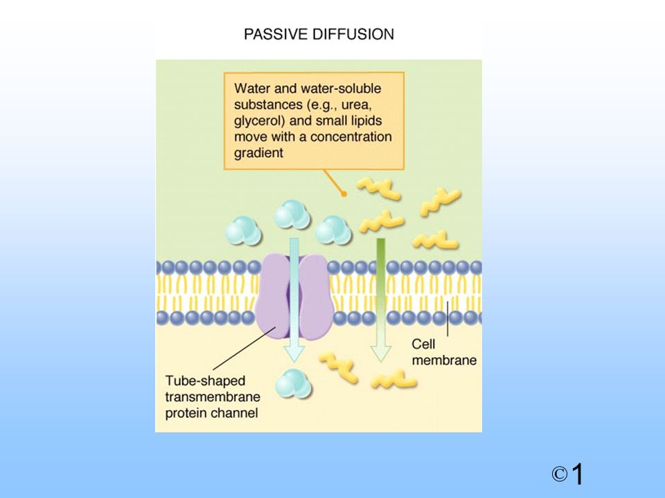 1 © Hydrophobic region Drugs acting on cell membrane lipids - Anaesthetics and some antibiotics Action of amphotericin B (antifungal agent) - builds tunnels through membrane and drains cell - builds tunnels through membrane and drains cell 7.