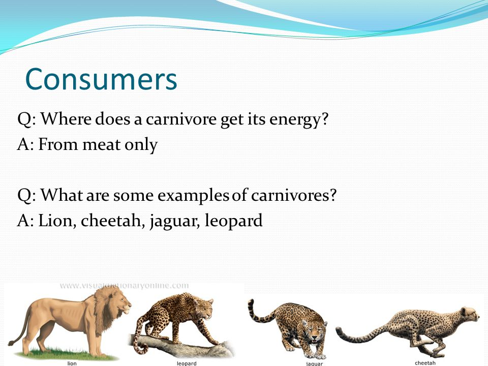 Consumers Q: Where does a carnivore get its energy? A: From meat only Q: What are some examples of carnivores? A: Lion, cheetah, jaguar, leopard