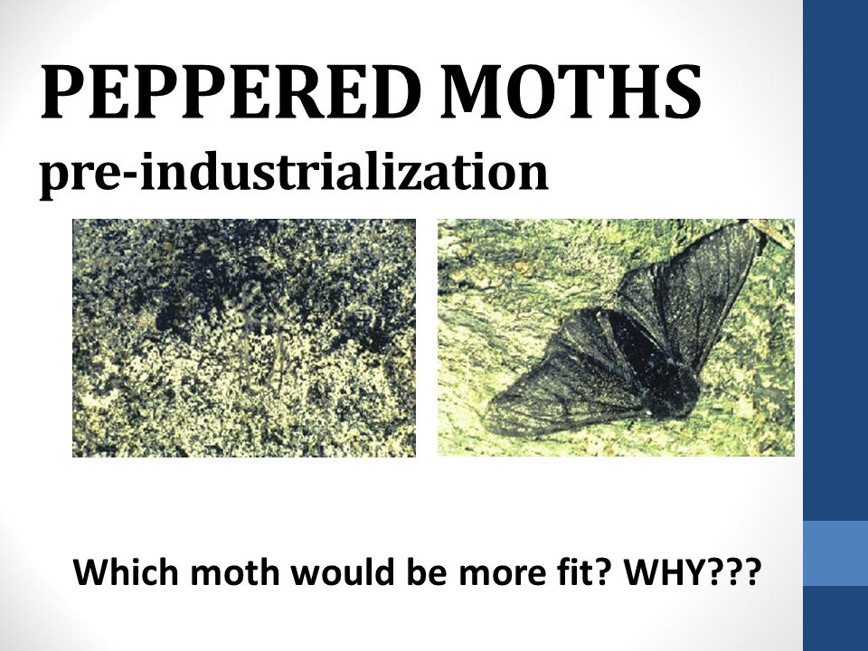PEPPERED MOTHS: NATURAL SELECTION IN ACTION!