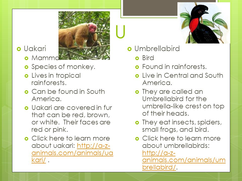 U  Uakari  Mammal  Species of monkey. Lives in tropical rainforests.