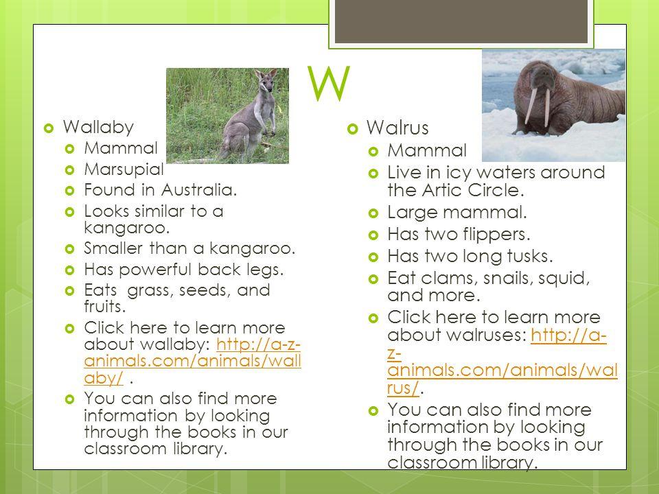 W  Wallaby  Mammal  Marsupial  Found in Australia.  Looks similar to a kangaroo.  Smaller than a kangaroo.  Has powerful back legs.  Eats gras