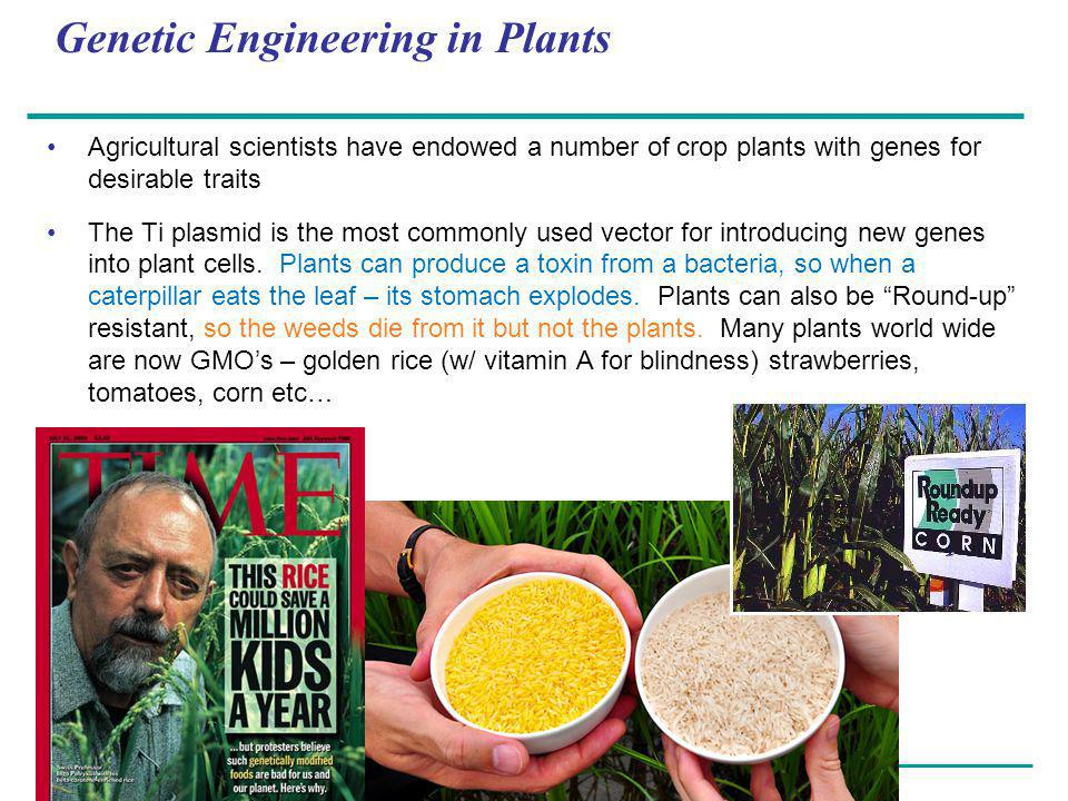 Copyright © 2005 Pearson Education, Inc. publishing as Benjamin Cummings Genetic Engineering in Plants Agricultural scientists have endowed a number o
