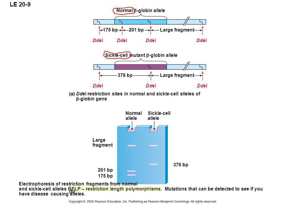 LE 20-9 Normal  -globin allele 175 bp201 bpLarge fragment Sickle-cell mutant  -globin allele 376 bpLarge fragment Ddel Ddel restriction sites in nor