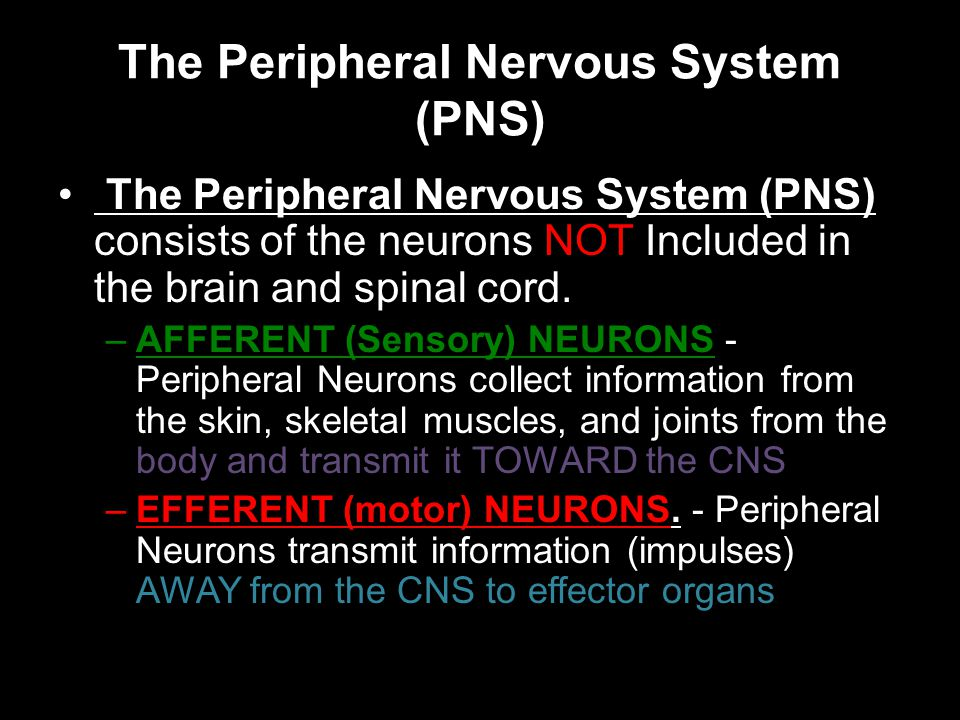 The Peripheral Nervous System (PNS) The Peripheral Nervous System (PNS) consists of the neurons NOT Included in the brain and spinal cord.