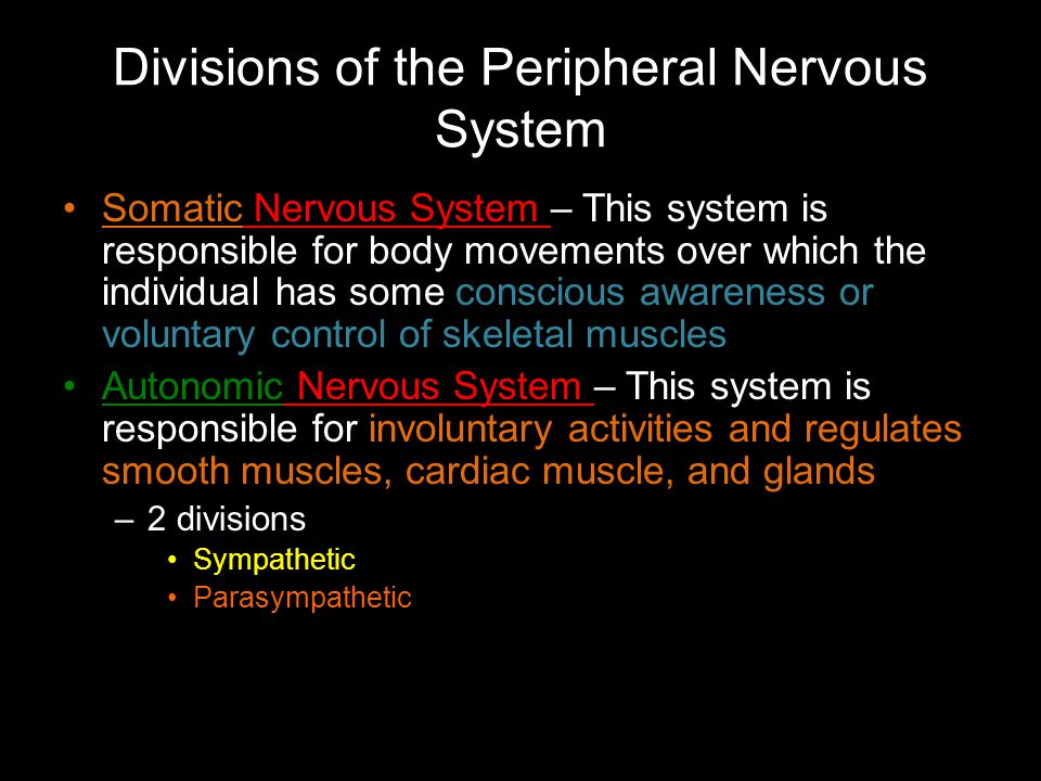 Divisions of the Peripheral Nervous System Somatic Nervous System – This system is responsible for body movements over which the individual has some conscious awareness or voluntary control of skeletal muscles Autonomic Nervous System – This system is responsible for involuntary activities and regulates smooth muscles, cardiac muscle, and glands –2 divisions Sympathetic Parasympathetic