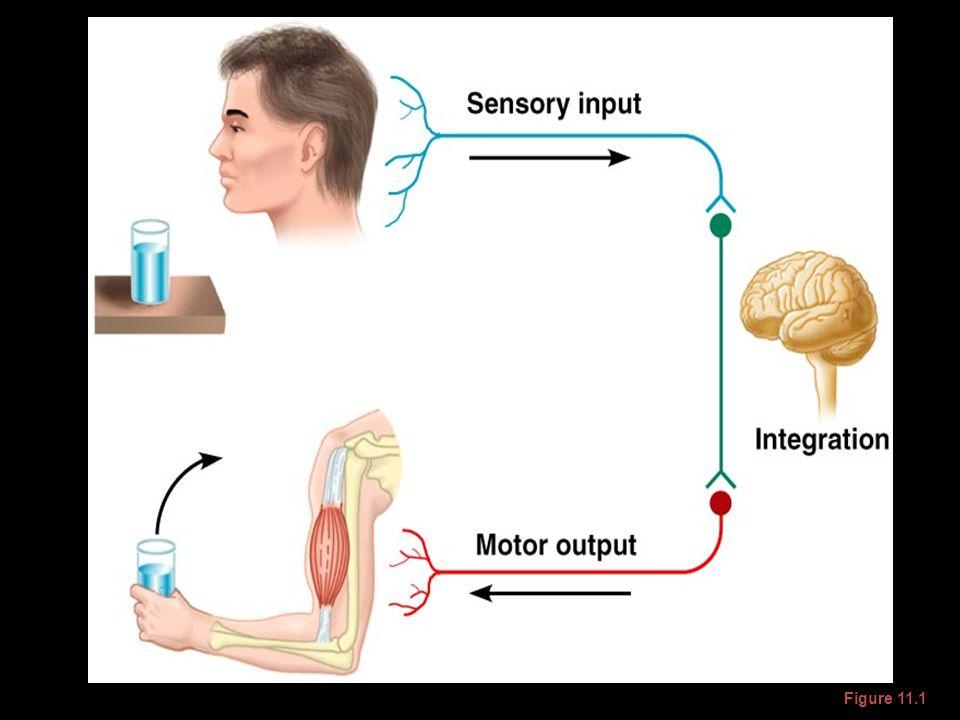 Nervous System Figure 11.1