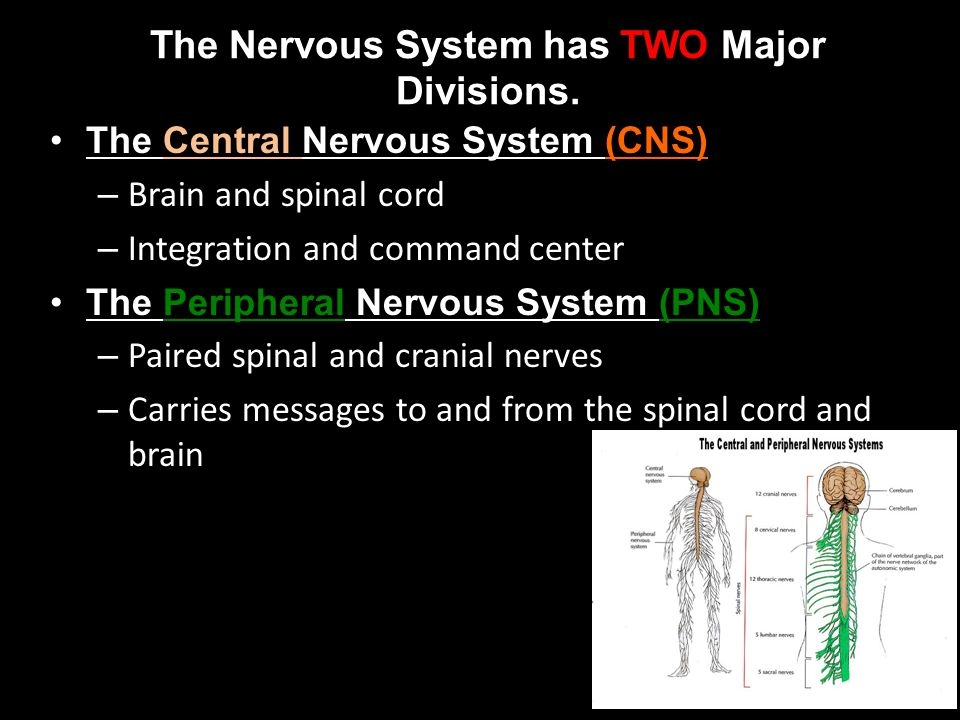 The Nervous System has TWO Major Divisions. The Central Nervous System (CNS) – Brain and spinal cord – Integration and command center The Peripheral N