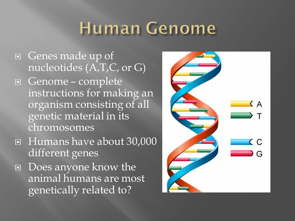  Genes made up of nucleotides (A,T,C, or G)  Genome – complete instructions for making an organism consisting of all genetic material in its chromosomes  Humans have about 30,000 different genes  Does anyone know the animal humans are most genetically related to?