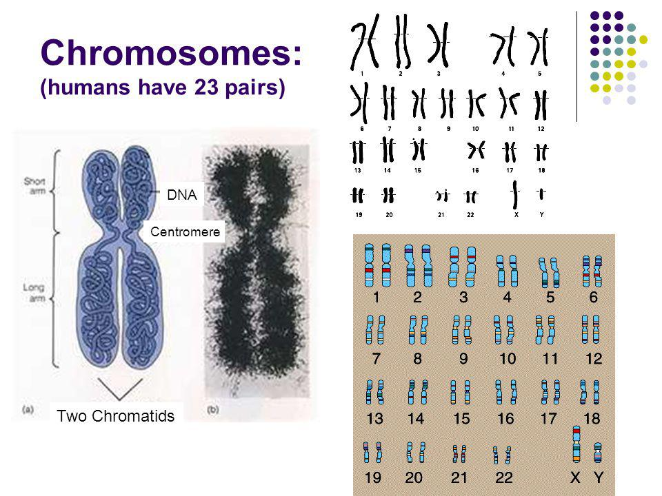 Chromosomes: (humans have 23 pairs) DNA Centromere Two Chromatids