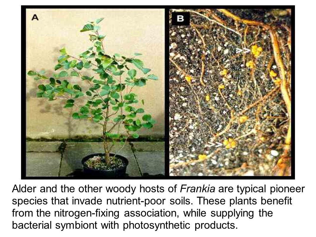 Alder and the other woody hosts of Frankia are typical pioneer species that invade nutrient-poor soils.