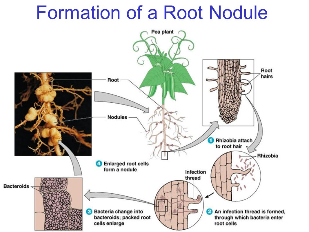 Formation of a Root Nodule