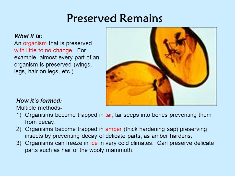 Preserved Remains What it is: An organism that is preserved with little to no change. For example, almost every part of an organism is preserved (wing