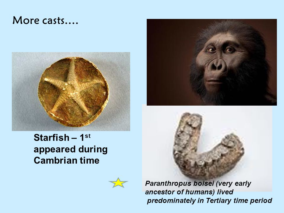 More casts…. Paranthropus boisei (very early ancestor of humans) lived predominately in Tertiary time period Starfish – 1 st appeared during Cambrian