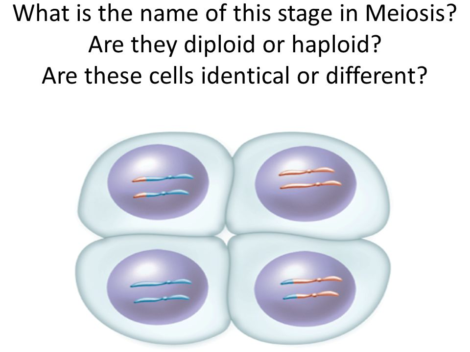 What is the name of this stage in Meiosis.Are they diploid or haploid.