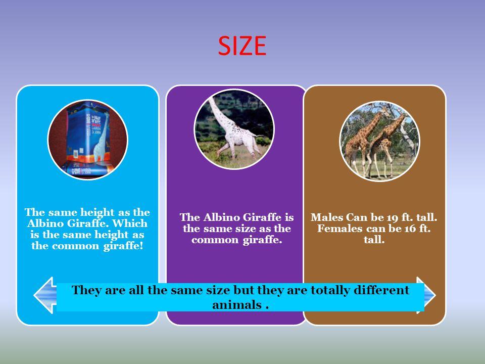 SIZE The same height as the Albino Giraffe. Which is the same height as the common giraffe! The Albino Giraffe is the same size as the common giraffe.