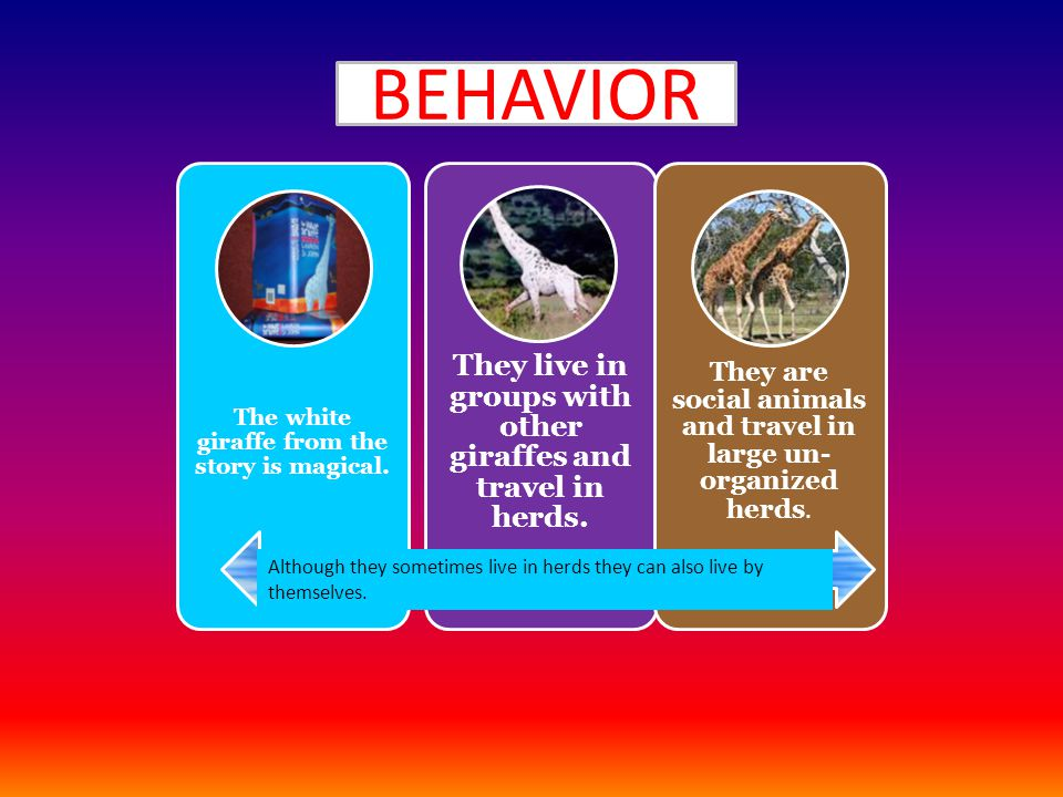 Behavior The white giraffe from the story is magical. They live in groups with other giraffes and travel in herds. They are social animals and travel