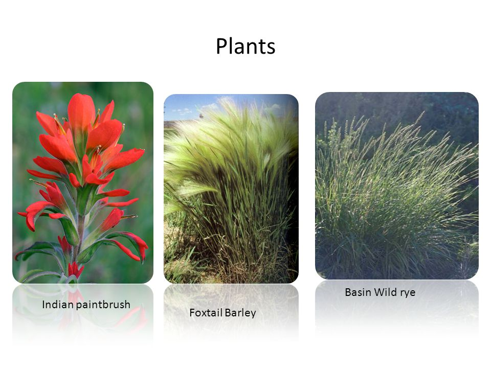 Plants Basin Wild rye Indian paintbrush Foxtail Barley