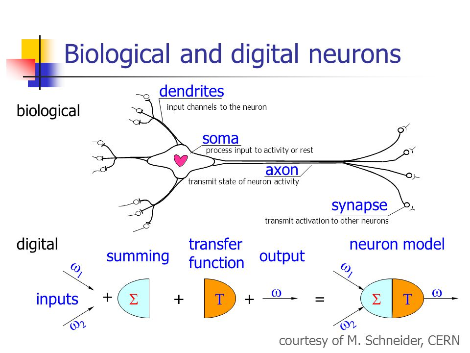 Biological and digital neurons  transfer function inputs   output  + ++  summing neuron model     = courtesy of M.