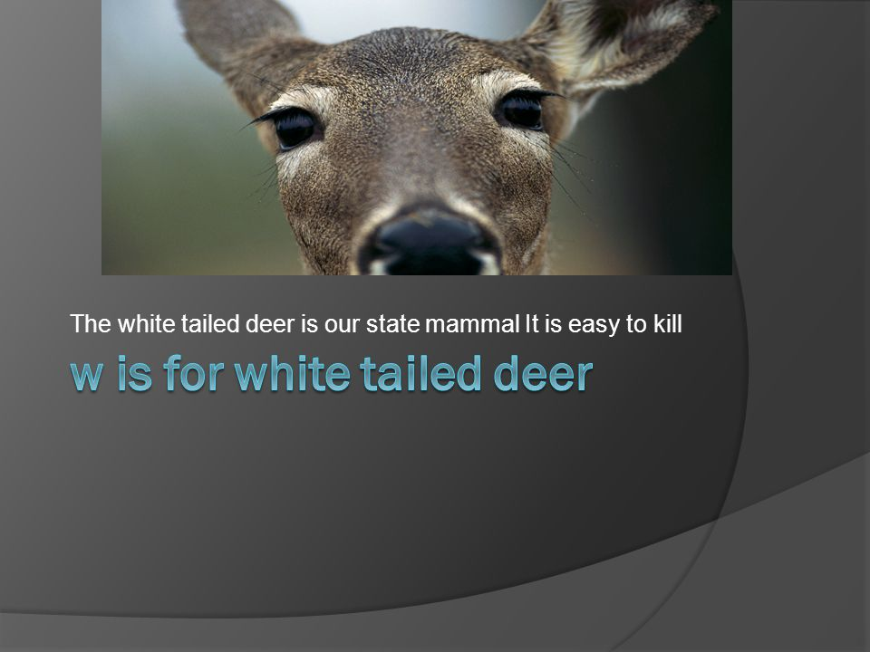 The white tailed deer is our state mammal It is easy to kill