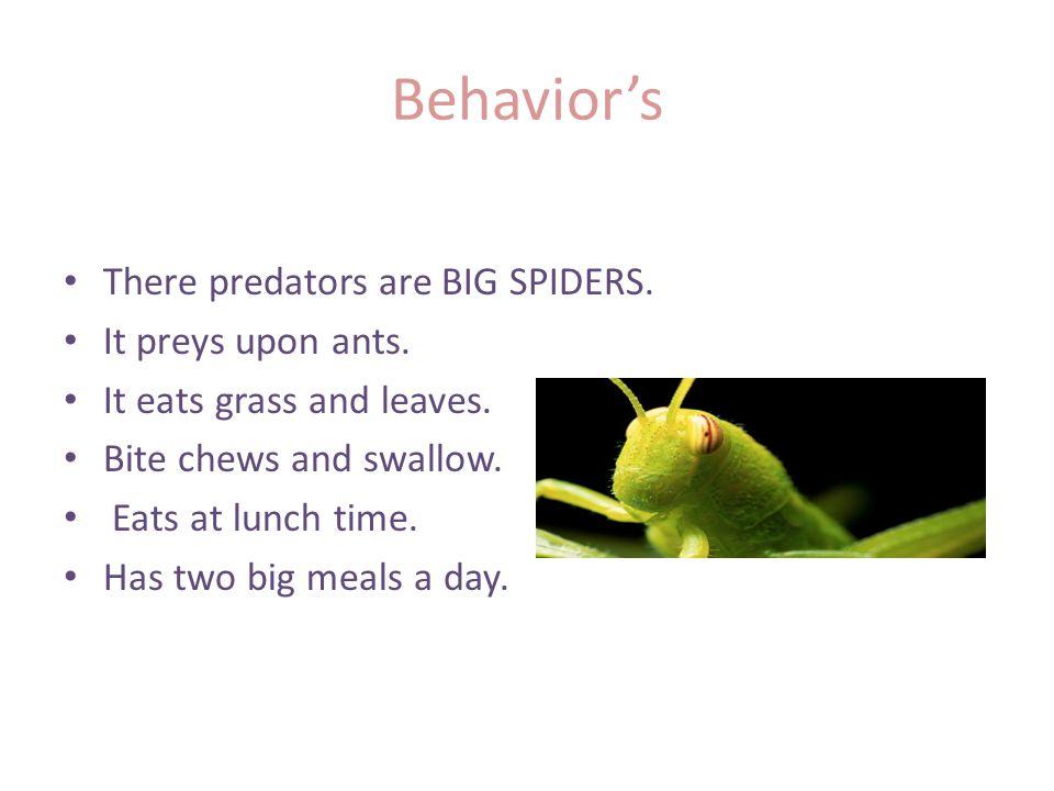 Behavior's There predators are BIG SPIDERS. It preys upon ants.