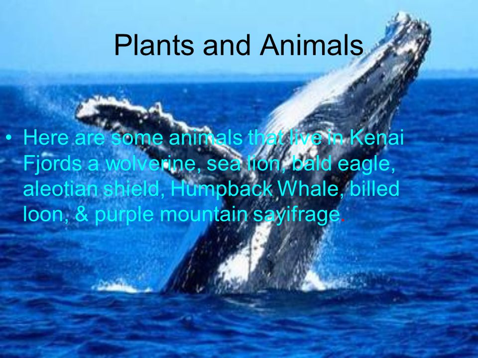 Plants and Animals Here are some animals that live in Kenai Fjords a wolverine, sea lion, bald eagle, aleotian shield, Humpback Whale, billed loon, & purple mountain sayifrage.