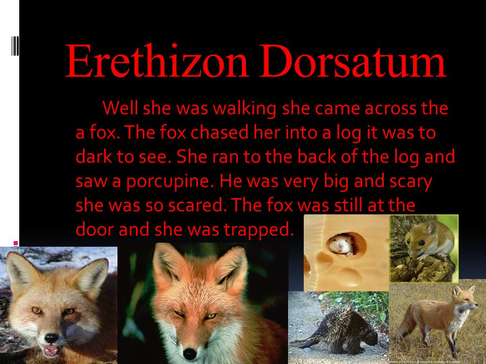 Erethizon Dorsatum Well she was walking she came across the a fox.