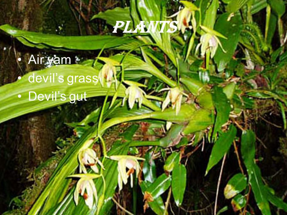 Plants Air yam devil's grass Devil's gut