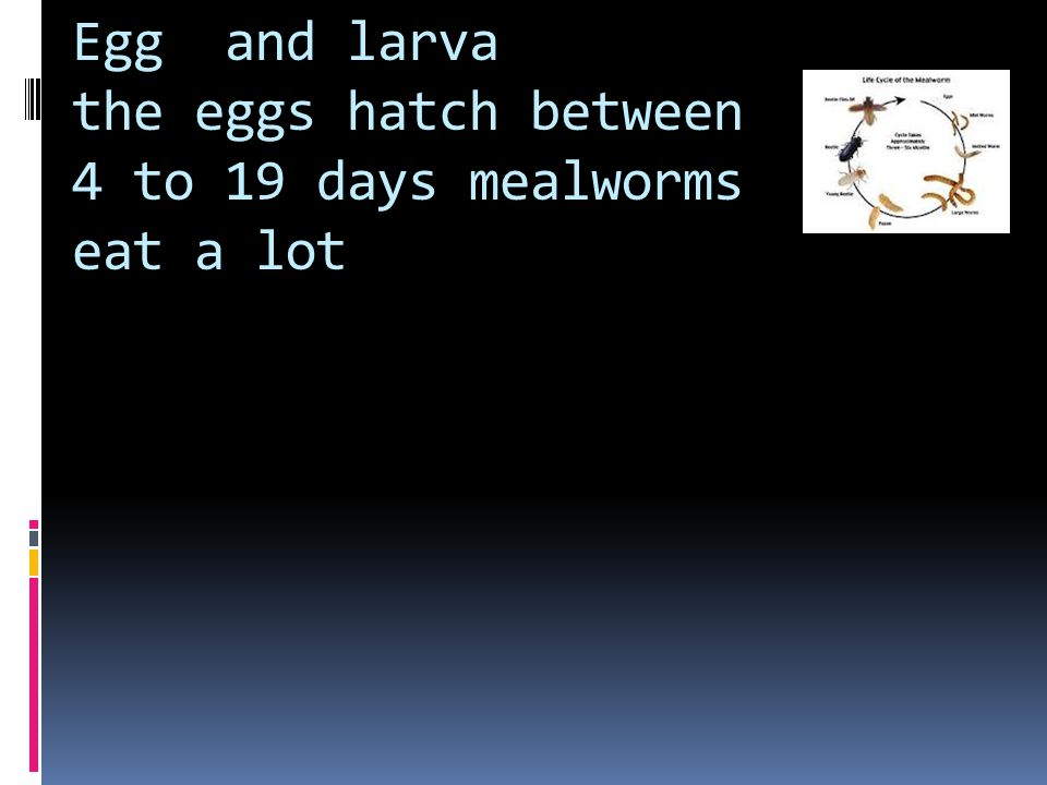 Egg larva pupa adult  this is the life cycle of a egg to a mealworm to a pupa to a adult
