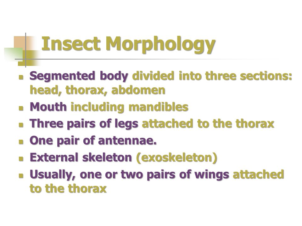 Insect Morphology Segmented body divided into three sections: head, thorax, abdomen Segmented body divided into three sections: head, thorax, abdomen