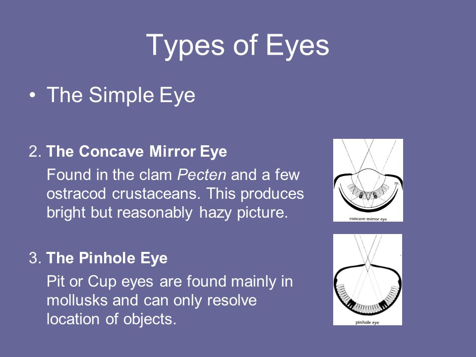 Types of Eyes The Simple Eye 2.