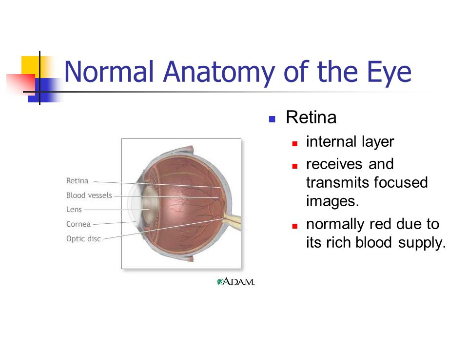 Normal Anatomy of the Eye Retina internal layer receives and transmits focused images. normally red due to its rich blood supply.