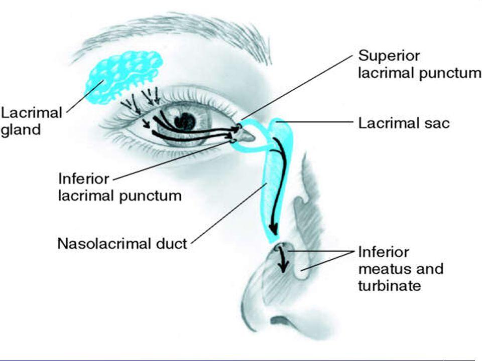 Lacrimal apparatus – irrigates conjunctiva & cornea – 3 parts A. Lacrimal gland, upper, outer corner of eye = tears B. Puncta= inner canthus, tear dra