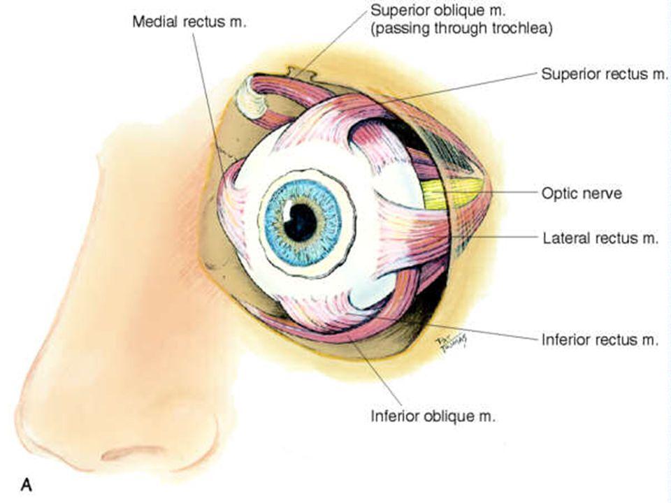 Eye movement stimulated by Cranial Nerves III Oculomotor IV Trochlear VI Abducens