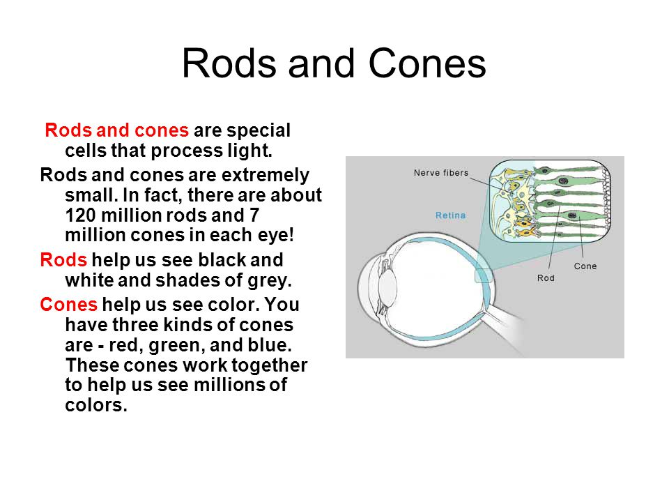 Rods and Cones Rods and cones are special cells that process light. Rods and cones are extremely small. In fact, there are about 120 million rods and