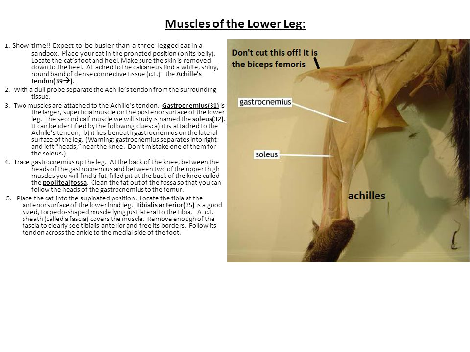 Muscles of the Lower Leg: 1.Show time!. Expect to be busier than a three-legged cat in a sandbox.