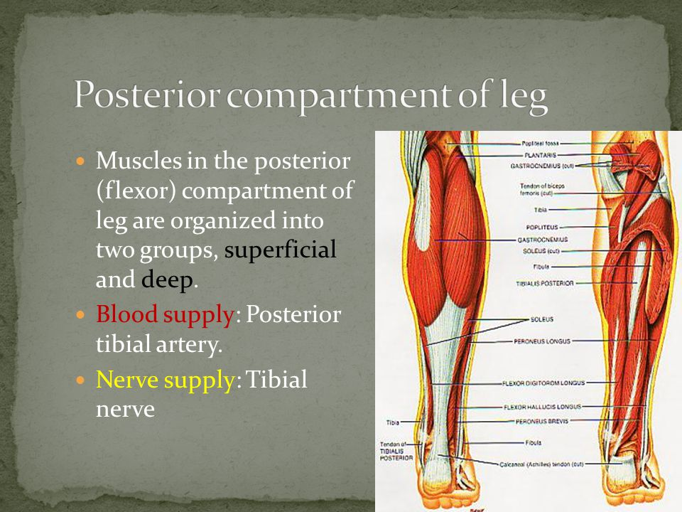 Muscles in the posterior (flexor) compartment of leg are organized into two groups, superficial and deep.