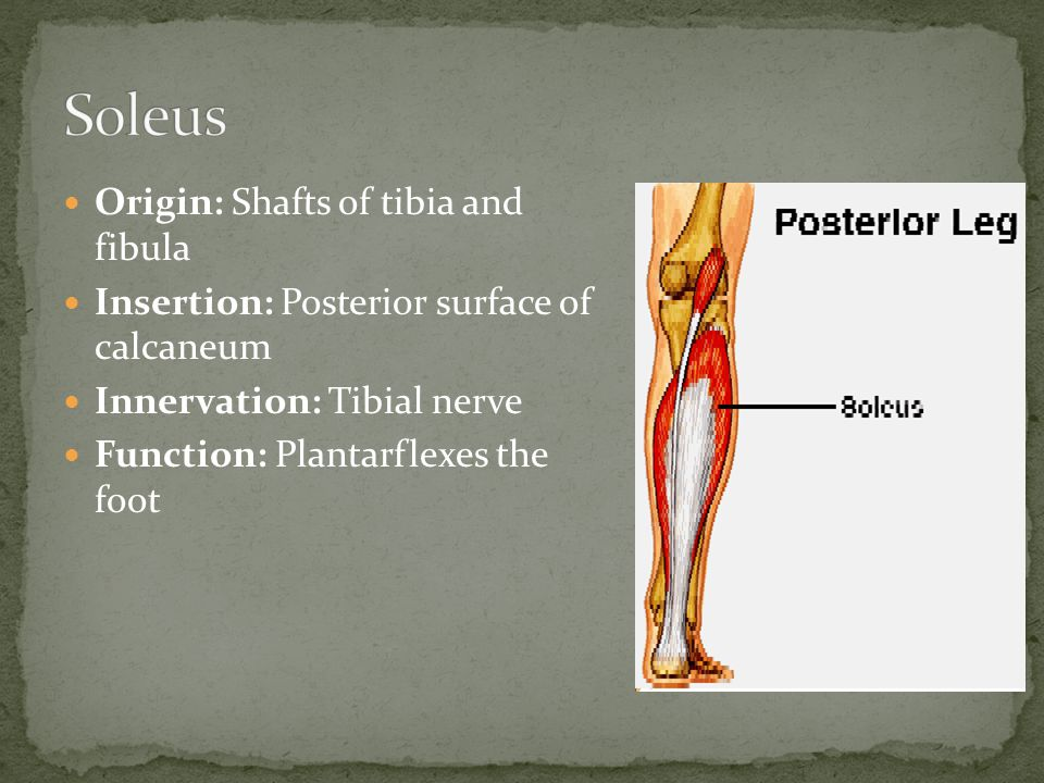 Origin: Shafts of tibia and fibula Insertion: Posterior surface of calcaneum Innervation: Tibial nerve Function: Plantarflexes the foot