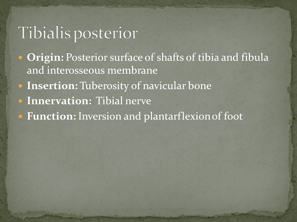 Origin: Posterior surface of shafts of tibia and fibula and interosseous membrane Insertion: Tuberosity of navicular bone Innervation: Tibial nerve Function: Inversion and plantarflexion of foot