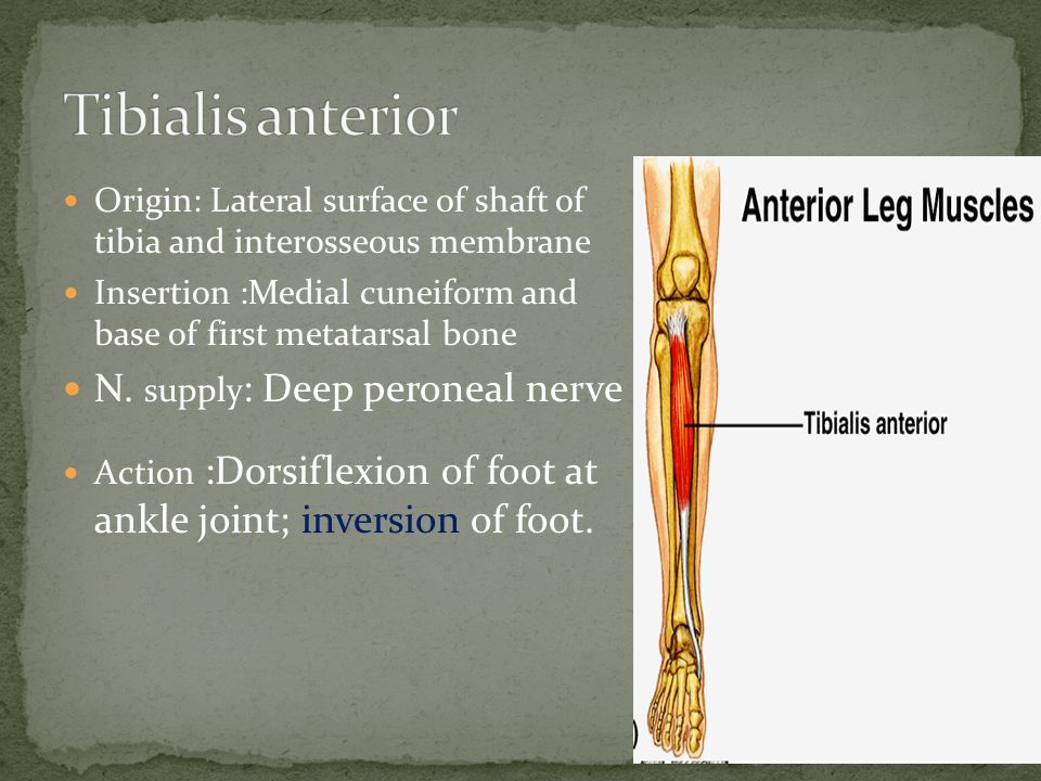 Origin: Lateral surface of shaft of tibia and interosseous membrane Insertion :Medial cuneiform and base of first metatarsal bone N.